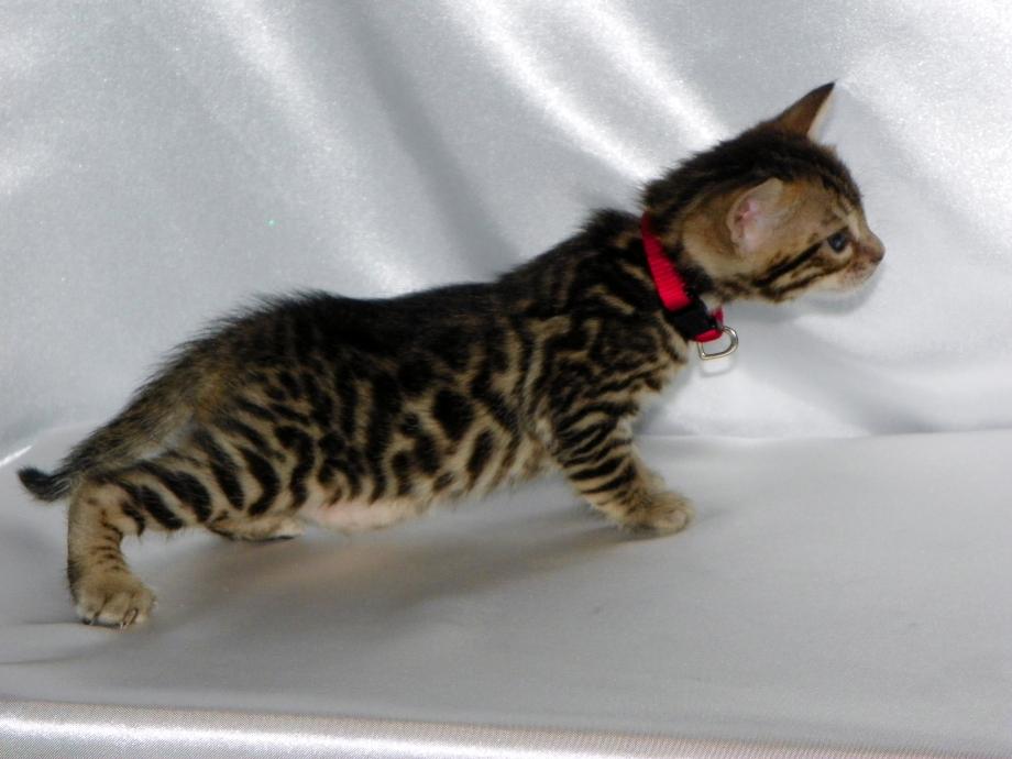 Adore Cats Bengals - Bianca at 4 weeks.