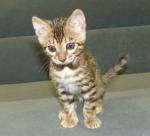 Adore Cats Bengals FiFi