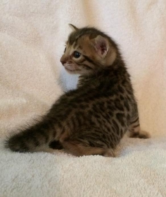 Adore Cats Bengals Kitten named Lola.