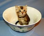 Adore Cats Bengals kitten.
