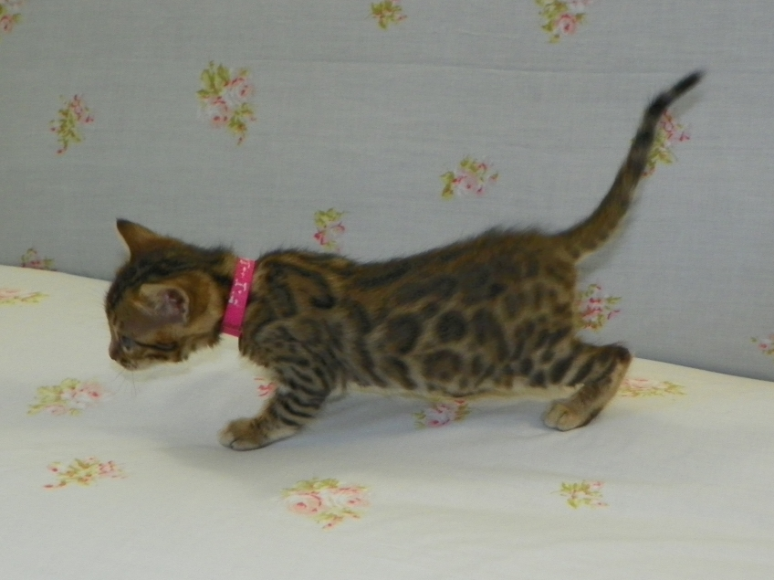Adore Cats Bengals kitten with rosettes
