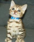 Adore Cats Bengals lovely kitten face.