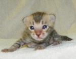 Adore Cats Bengals kitten