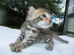 Adore Cats Bengals kitten face.