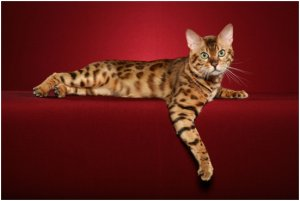 Adore Cats Bengals - Brown Spotted Bengal Cat.