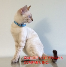 Seal Spotted Lynx Point (Snow) Bengal | Adore Cats Bengals