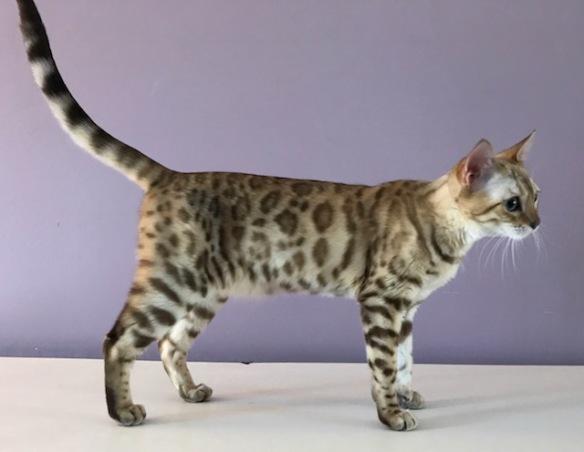 ©Adore Cats Bengals Company, Inc.