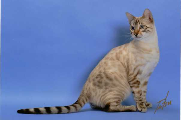 Adoe Cats Bengals Seal Lynx Point Spotted Bengal