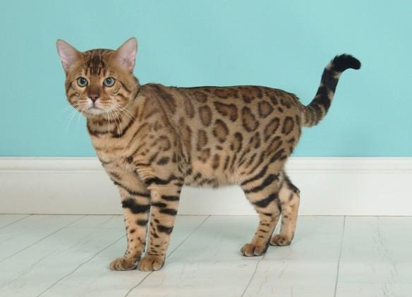 @Adore Cats Bodacious Best