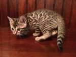 Adore Cats Bengals rosetted boy.
