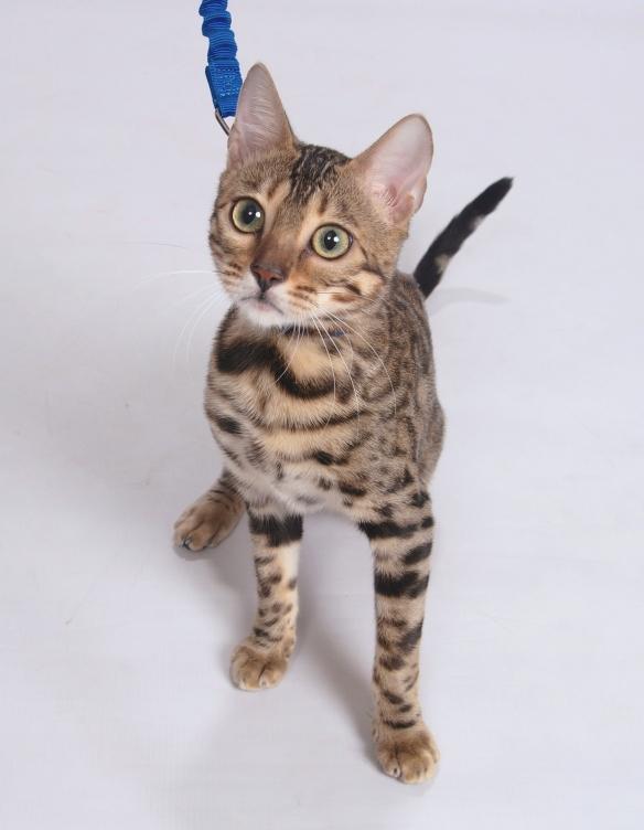 Adore Cats Bengals Opal
