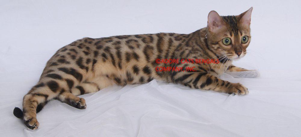 Golden bengal cat for sale