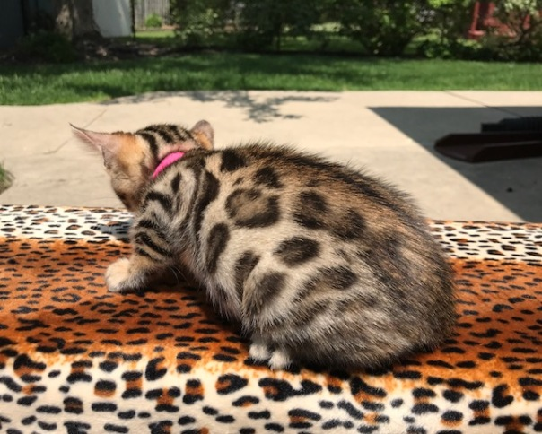 Adore Cats Eartha