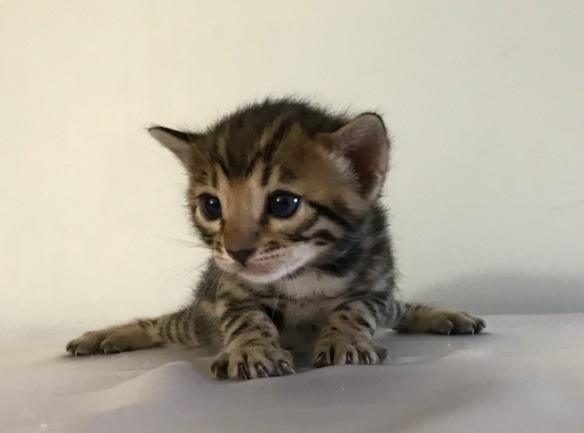 Adore Cats Hugh