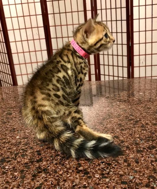 Adore Cats Kandi