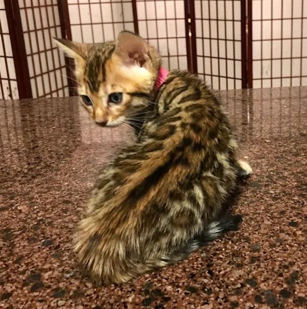 Adore Cat Farrah