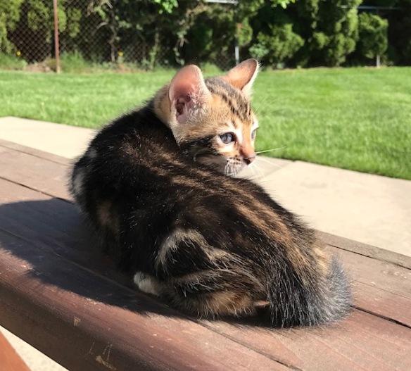 Adore Cats Rockette