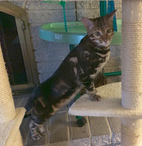 Adore Cats Rockette has a tri-colored marble pattrrn.